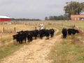 Here is Ronnie moving calves to the pasture for fence line weaning.