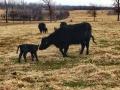 Spring calving