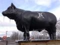 Senior herd bull