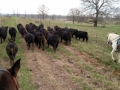 Moving Heifers