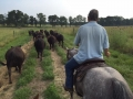 Moving heifers and cows.
