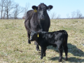 Pathfinder with another new calf