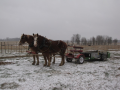 Team in winter with manure spreader